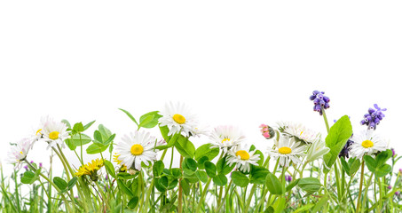 spring grass and daisy wildflowers isolated background