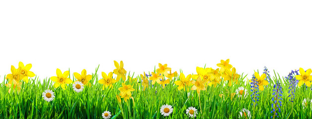 Photo sur Toile Narcisse a spring flowers and green grass background