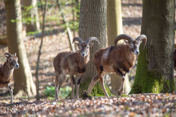 mouflon sheep - Ovis Orientalis