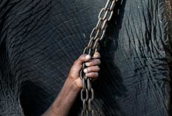 A mahout holds the chain of the temple's elephant during a ceremony as part of the Sinhala, Hindu and Tamil new year celebrations in Colombo