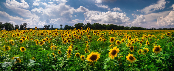 Field of blooming sunflowers on a background sunset Fototapete