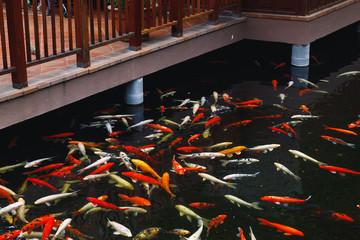 koi carp fish at a pier