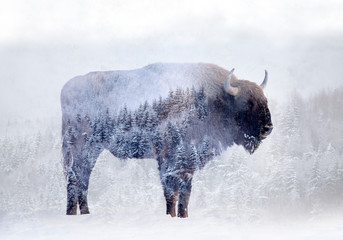 Double exposure of a wild bison, buffalo and a pine forest
