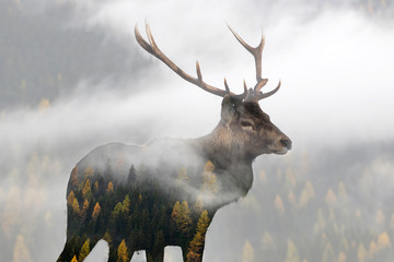 Double exposure of a red deer and a pine forest