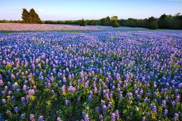 Bluebonnet filled Meadow near Ennis, Texas