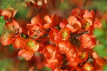 Blüten Zweig Zierquitte - Chaenomeles