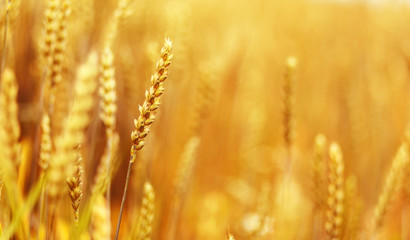 golden ears of wheat or rye, close up. under the influence of sunlight. majestic rural landscape