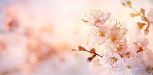 Fototapete - Spring border or background art with pink blossom blooming tree