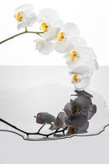 Gałązka orchidei z białymi kwiatami. Kwiaty storczyka odbijające się w kałuży wody.