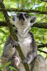 Portrait Katta - Lemur Catta - im Baum Blick nach oben