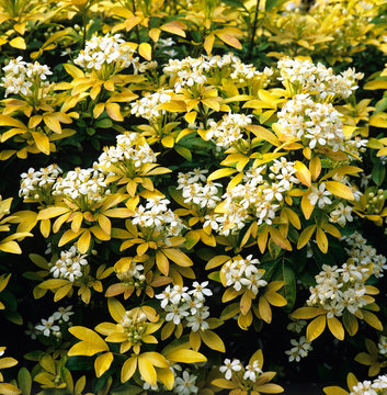 Choisya ternata Sundance in a flower border