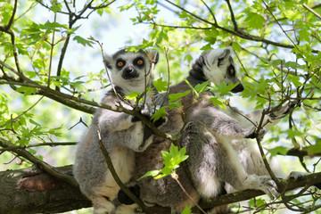 Zwei Kattas - Lemur catta - sitzen zusammen im Baum