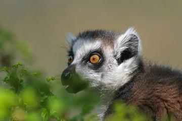 Portrait Katta - Lemur catta - frisst an frischen Blättern