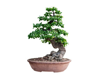 Foto op Plexiglas Bonsai Bonsai tree isolated on white background. Its shrub is grown in a pot or ornamental tree in the garden.