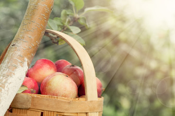Red and yellow apples in the basket - Autumn at the rural garden with sunlight