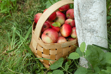 Apples in the basket on the background of green grass. Top view Close-up