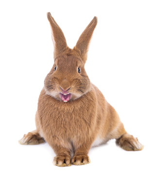 angry brown rabbit isolated on white background