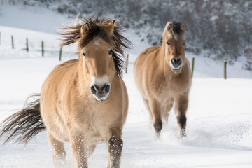 Two horses of the breed Haflinger trot in the snow. The sun is shining, the horses throw up a lot of snow.