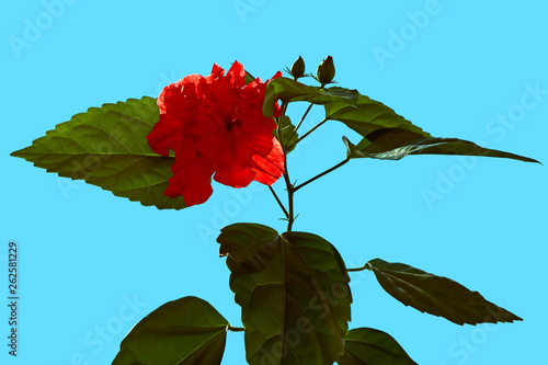 Red Flower Of Hibiscus China Rose Outdoors Beautiful Natural