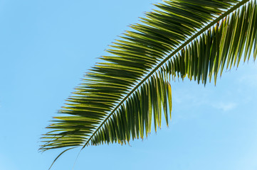 Leaves of palm tree.