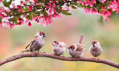 Papiers peints Oiseau natural background with birds sparrow with little chicks sitting on a wooden fence in the village garden surrounded by yab flowers they have a sunny day