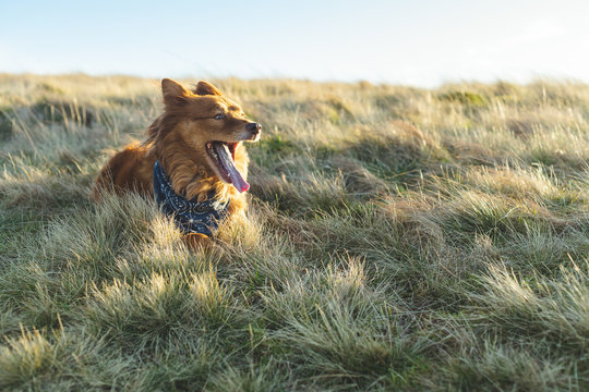 Happy dog with wide open mouth laying in grass