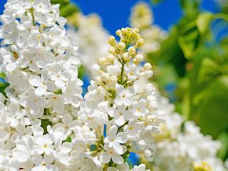 Weißer Flieder, Syringa