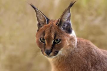 Portrait Karakal - Caracal caracal - Kitten,  Jungtier