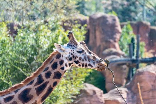 Giraffe runs through the steppe in Africa