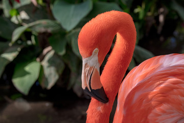 Pink Flamingo Wildlife Portrait Image - Beautiful Tropical Bird with Bright Feathers, isolated side portrait view showing incredible feather detail. Wading bird in the Phoenicopteridae family.
