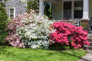Pink, white and red azaleas blooming in front of residential home porch.