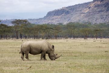 White Rhinoceros grazing at Lake Nakuru, Kenya Wall mural
