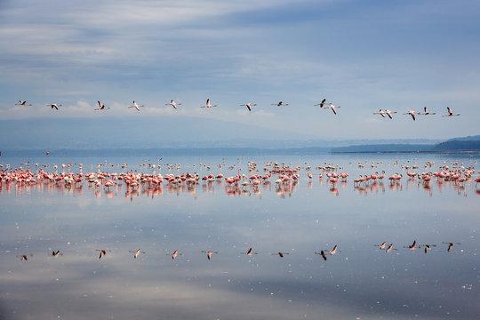 Flamingos flying in a line, reflected on Lake Nakuru, Kenya
