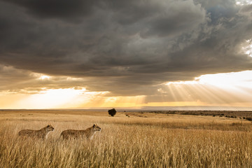 Two female Lions scan the horizon while dramatic clouds float over the Massai Mara, Kenya