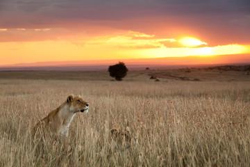 Vigilant Lions during sunset on the Massai Mara, Kenya