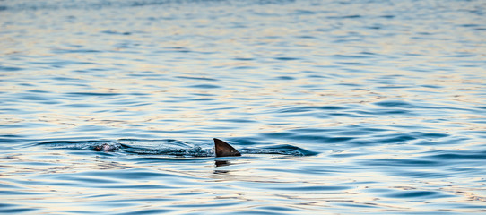 Shark fin on the surface of the ocean. Great White Shark swimming in the ocean. False Bay, South Africa, Atlantic Ocean.
