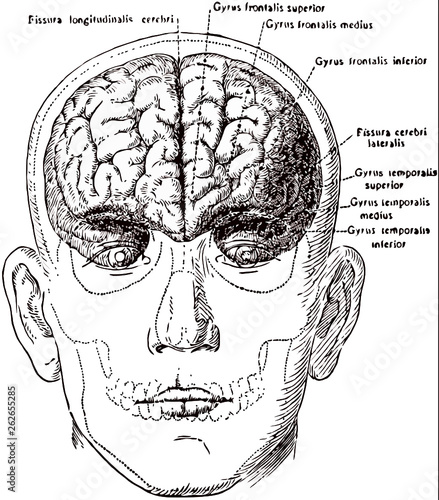 Human Skull Diagram Superior
