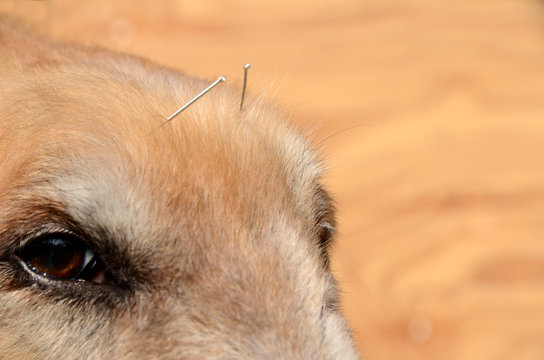 Closeup on a dog's face wih acupuncture needles.