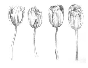 Set of hand drawn tulips. Sketch, flower, illustration