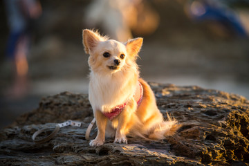 chihuahua enjoy the golden sunset