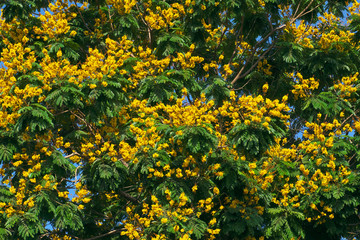 30b90f7e7367 Leopard tree bloom yellow flower among green leaf