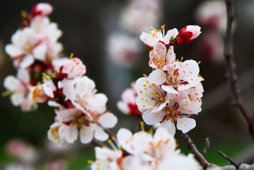 Blooming cherry tree in the garden. Cherry flowers close up. Nat