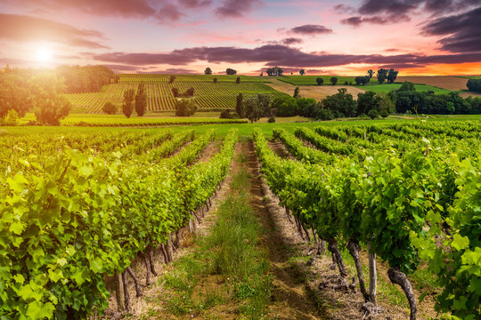Beautiful vineyard at sunset. Travel around France, Bordeaux