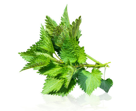 Urtica dioica, common nettle, stinging nettle, nettle leaf, or just a stinger isolated on white background