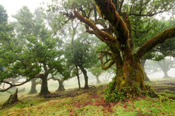 Old cedar tree in Fanal forest - Madeira island. Portugal. Wall mural