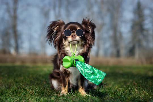 chihuahua dog in glasses holding poo bag in her mouth