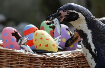 Humboldt penguins are fed fish from papier-mache Easter eggs during a photo-call at ZSL London Zoo in London