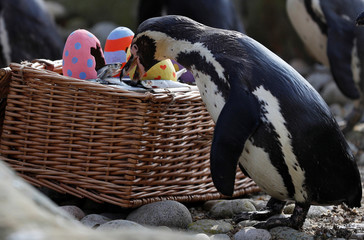A Humboldt penguin is fed fish from a papier-mache Easter egg during a photo-call at ZSL London Zoo in London