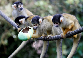 Black capped squirrel monkeys are fed treats from a papier-mache Easter egg during a photo-call at ZSL London Zoo in London