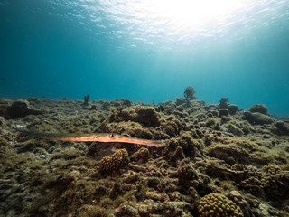Seascape of coral reef in the Caribbean Sea around Curacao at dive site Playa Piskado with Cornetfish